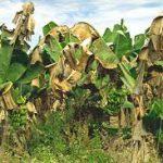 Indonesia Jadi Percontohan Penanganan Wabah Fusarium Pisang