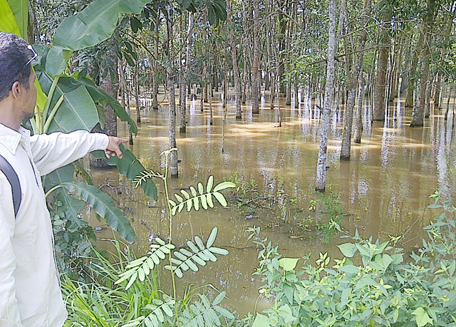 Sungai Musi Meluap, Aktifitas Petani Karet Lumpuh