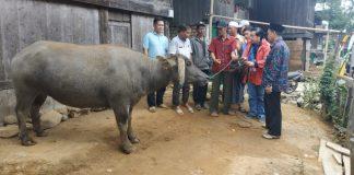 Pihak Perusahaan menyerahkan kerbau ke Kepala Desa didampingi Camat